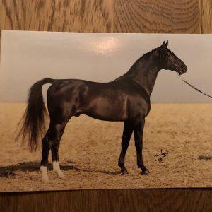 Vykort hästen Trombon 704