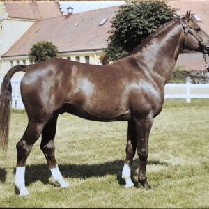 Vykort hästen Dragon 465