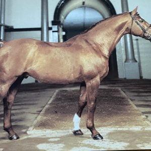Vykort hästen Porfyr 657